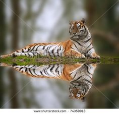 Stock Images similar to ID 126099029 - sleeping tiger on rock in the...