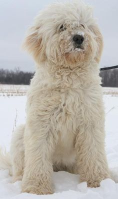 Goldendoodles.  We are interested in possibly a second dog as a friend for our baby