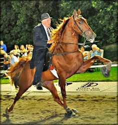 photos of tennessee walkers horse | ... Breeders of Tennessee Walking Horses - For Sale Coach's Cheerleader