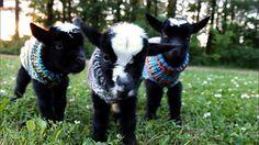 Ou três cabrinhas igualmente quentinhas em seus suéteres. | 21 bichinhos fofos para você dar um tempo nas notícias ruins