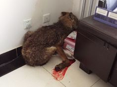 Wolf injured by hunters limps into govt building - People's Daily Online