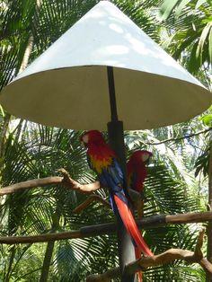 Hellroter Ara chillt unter seinem Sonnenschirm ...  #ara #papagei #zooave