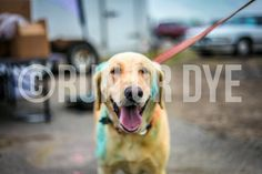 Yellow Lab Participates in Run or Dye event