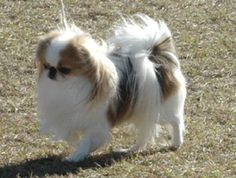 This article explains the key characteristics of Japanese Chin and what makes an ideal owner. Cute Puppies, Cute Dogs, Dogs And Puppies, Doggies, Beautiful Dog Breeds, Beautiful Dogs, Pekingese Puppies, Teacup Puppies, Chihuahuas