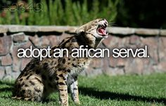 Adopt an african serval