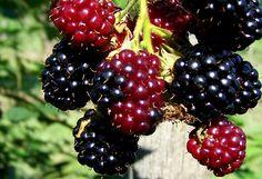 Ha a jostát (a fekete ribiszke és a köszméte keresztezéséből létrehozott fajhibridet, amely még csak most teszi meg első lépéseit a népszerűvé válás útján) nem vesszük... Permaculture, Blackberry, Fruit, Garden, Flowers, Food, Products, Arrows, Garten