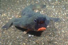 """*☆*Red-lipped batfish by Ken Bondy.~ Another peculiar-looking bottom-dweller is the Red-lipped Batfish. It is an unusual looking fish found on the Galapagos Islands. Red-lipped batfish are closely related to Rosy-lipped Batfish. Both fish species look and behave very similarly to one another. Batfish are not good swimmers; they use their pectoral fins to """"walk"""" on the ocean floor. When the batfish reaches adulthood, its dorsal fin becomes a single spine-like projection that lures prey*☆*"""