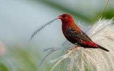 Red Avadavat ©2015 Dharmveer Suthar