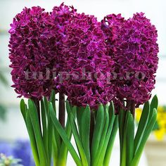 Supplied as circumference bulbs. Shop online in the UK for this indoor Hyacinth that can be in flower as early as December. Planting Bulbs, Planting Flowers, Woodstock, Hyacinth Flowers, Mason Jars, Oriental Lily, Asiatic Lilies, Easter Table Decorations, Fall Plants