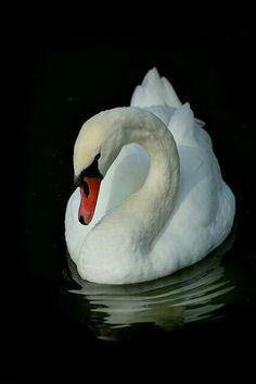 Beautiful Swan, Beautiful Birds, Animals Beautiful, Swan Pictures, Animal Pictures, Animals And Pets, Cute Animals, Swan Painting, White Swan