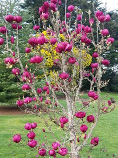 magnolia felix outdoor decor garden pinterest magnolien. Black Bedroom Furniture Sets. Home Design Ideas
