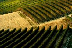 You can visit these beautiful vineyards with the opportunity Asolando gives to you, in the discovery of the best villas and vineyards of Piemonte.