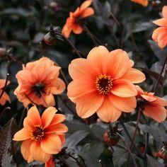 dahlia maxime - dahlia décoratif aux fleurs rouge borduré de jaune