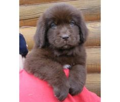 Brown Newfoundland Puppy. I want a little girl named Nutella one day :)
