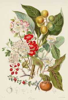 Pomaceae Margins Not Shown but Intact from Original Hand colored Antique Lithographs