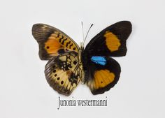 Blue Spotted Pansy Butterfly, Junonia westermanni, photograph by: Darrell Gulin