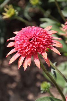 Zonnehoed (Echinacea 'Secret Passion')