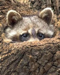 #Animal #Animals #AnimalLover #AnimalLovers Have one that raids bird feeder at night. May have to trap and release. Not even afraid of me! Cute but can be dangerous. vs