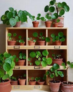 6 Beginner Houseplants + Their Matching Affordable Planter | Pilea Peperomiodies | www.thatplantylife.com