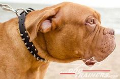 Gorgeous Mastiff Leather Collar With Silver Pyramids and Brass Studs Leather Collar with Pyramids and Studs] : Mastiff harness, Mastiff muzzle, Mastiff collar, dog leash, Dog leash Dog Harness, Dog Leash, Mastiff Dog Breeds, Bordeaux Dog, Dog Training Equipment, Every Dog Breed, Dog Muzzle, Leather Dog Collars, Studded Leather