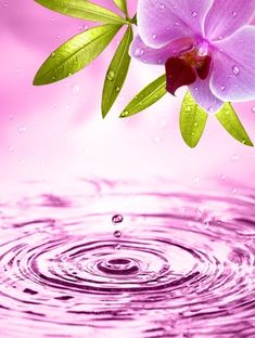 Water drops and orchid...                                                       …