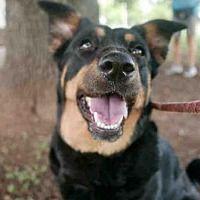 Austin Tx Labrador Retriever Meet Lili A Dog For Adoption