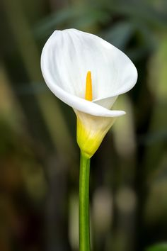 white calla lily by Kelvin Rumsby on 500px
