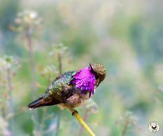 Bumbelbee Hummingbird #hummingbird