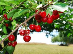 how to grow and take care of cherry trees