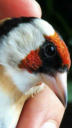 Goldfinch white throat Pretty Birds, Beautiful Birds, Animals Beautiful, Bird Wall Art, Bird Artwork, Exotic Birds, Exotic Pets, Canary Birds, Zoo Photos