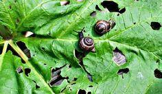 Lehtokotiloilla on kyltymätön ruokahalu ja hurja lisääntymiskyky. Snail, Slug