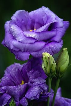 (lisianthus) If I could grow flowers, I would definitely plant these.  They are beautiful and my fav color. (tls)