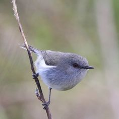 Grey Warbler (Gerygone igata) New Zealand Small Birds, Little Birds, Pet Birds, Animals Of The World, Animals And Pets, Baby Animals, Wild Animals, Bird Pictures, Horse Pictures