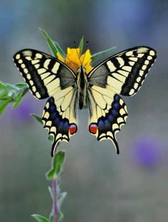 Most Beautiful Butterflies in the World [Amazing Colors & Shapes] Beautiful Butterflies are one of a lot of varied as well as attractive insects worldwide. The huge team of butterflies consist of greater than 250000 flavor Butterfly Pictures, Butterfly Flowers, Monarch Butterfly, Butterfly Wings, Butterfly Species, Butterfly Kisses, White Butterfly, Most Beautiful Butterfly, Beautiful Bugs
