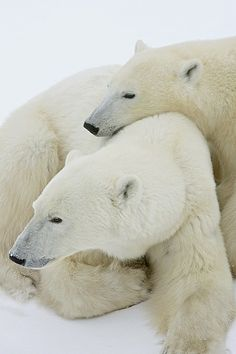 A Polar Bear Sow And Her Cub Snuggle - by Candice Siciliano