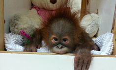 Orangutang rescued from the illegal pet trade, to be returned to a rescue centre in Borneo from Kuwait. Her mother was almost certainly killed by loggers employed by the palm oil trade.