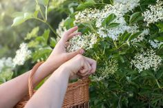 Cut Flowers from the Elderberry Bush in a Wicker Basket - Buy this stock photo and explore similar images at Adobe Stock Elderberry Bush, Cute Room Ideas, Elderflower, Influenza, Medicinal Plants, Herbal Medicine, Cut Flowers, Herbal Remedies, Dandelion