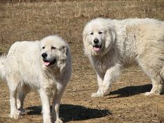 One Dog or Two, Should I get a second dog? Having 2 Dogs Top Dog Breeds, Two Dogs, Great Pyrenees, Samoyed, White Dogs, Dog Show, Mountain Dogs, Working Dogs, Dog Photos