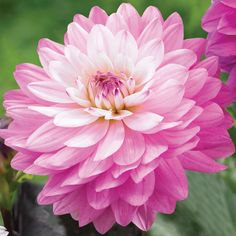 208 best summer blooming bulbs images on pinterest in 2018 spring dahlia decorative miracle princess mightylinksfo