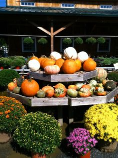 Fall is here - Pumpkins and Mums.