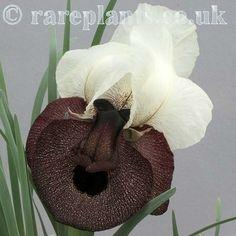 Iris elegantissima Horassan