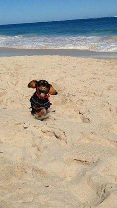 vacation / Weenie dogs / Sausage dog / Dachshund love / Dachshund puppies / Doxie / Weiner Dog / Wiener Dog / Dachshund Dog #dachshundaddict #dachshund #dachshunds #sausagedog #wienerdog #weinerdog #doxie #dachshund dogs #duchshundpuppies Dachshund Funny, Dachshund Breed, Dachshund Love, Funny Dogs, Dachshund Facts, Clever Dog, Terrier, Most Popular Dog Breeds, Dog Memes