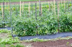 Tomatoes are supported by strings running between wooden stakes. The lead stake is a strong metal post. Then hardwood st...