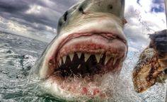 Modern Megalodon? Great White Shark Bigger Than 'Shark Week's' Mega Shark 'The Submarine' Spotted