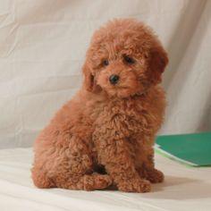 Mini Apricot poodle. AKC poodles. Scarlet's Fancy poodles.