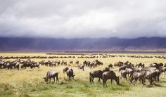 Wildebeasts!  Want to see them in person!  #safari #Tanzania