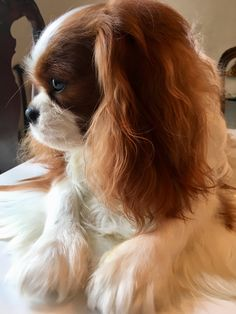 Are you looking for the best Cavalier King Charles Spaniel dog names? Are you looking for the best Cavalier King Charles Spaniel dog names? Perro Cocker Spaniel, Cavalier King Spaniel, Spaniel Dog, Spaniel Puppies For Sale, Cute Dogs And Puppies, Doggies, Cavalier King Charles Blenheim, King Charles Puppy, Beauceron Dog