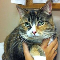 Missy has been patiently waiting 101 days just to curl up on your lap. Click to learn more about Missy. #Adoption #Cat #CatAdoption