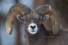 Big Horn Ram....Yellowstone.... photo by Henrik Nilsson