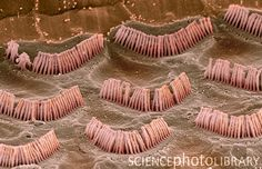 Hair cells (the vibration-sensitive cells responsible for hearing) in the cochlea.